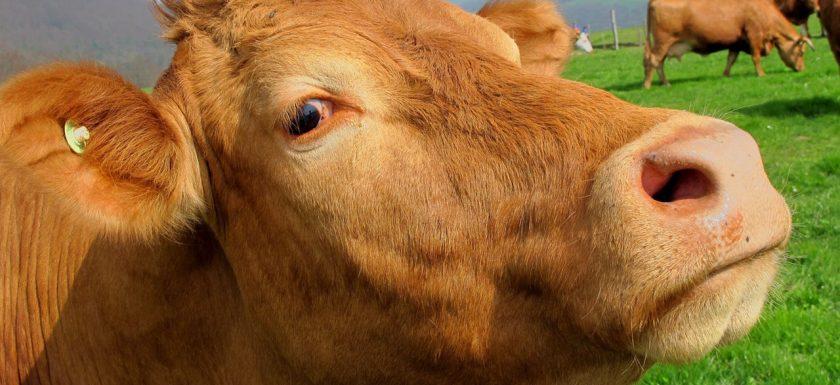 Den lilla gummans ko